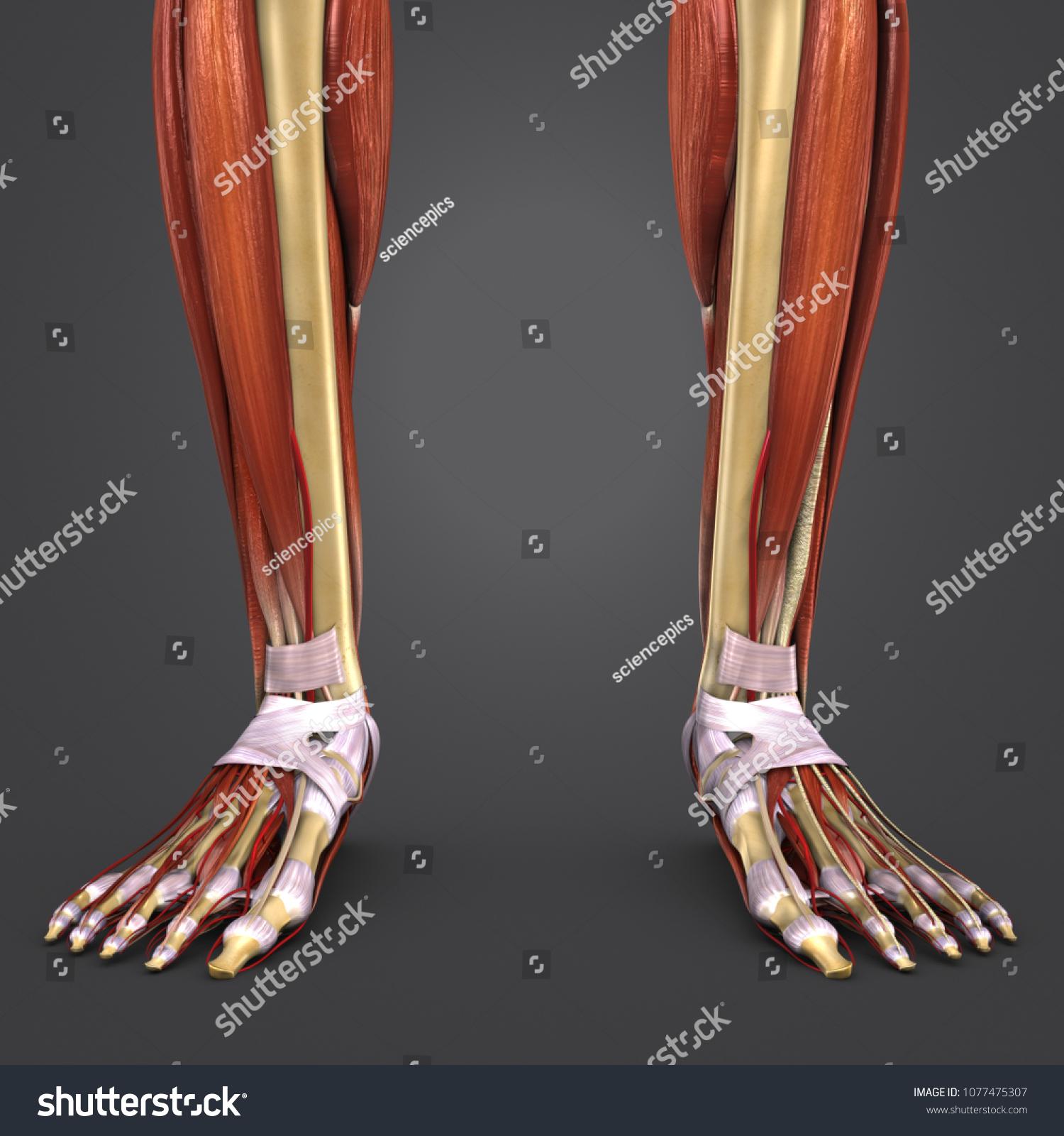 Legs Muscles Anatomy Skeleton Arteries Anterior Stock Illustration