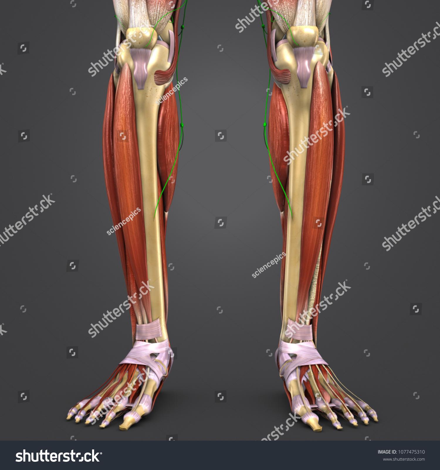 Royalty Free Stock Illustration Of Legs Muscles Anatomy Skeleton