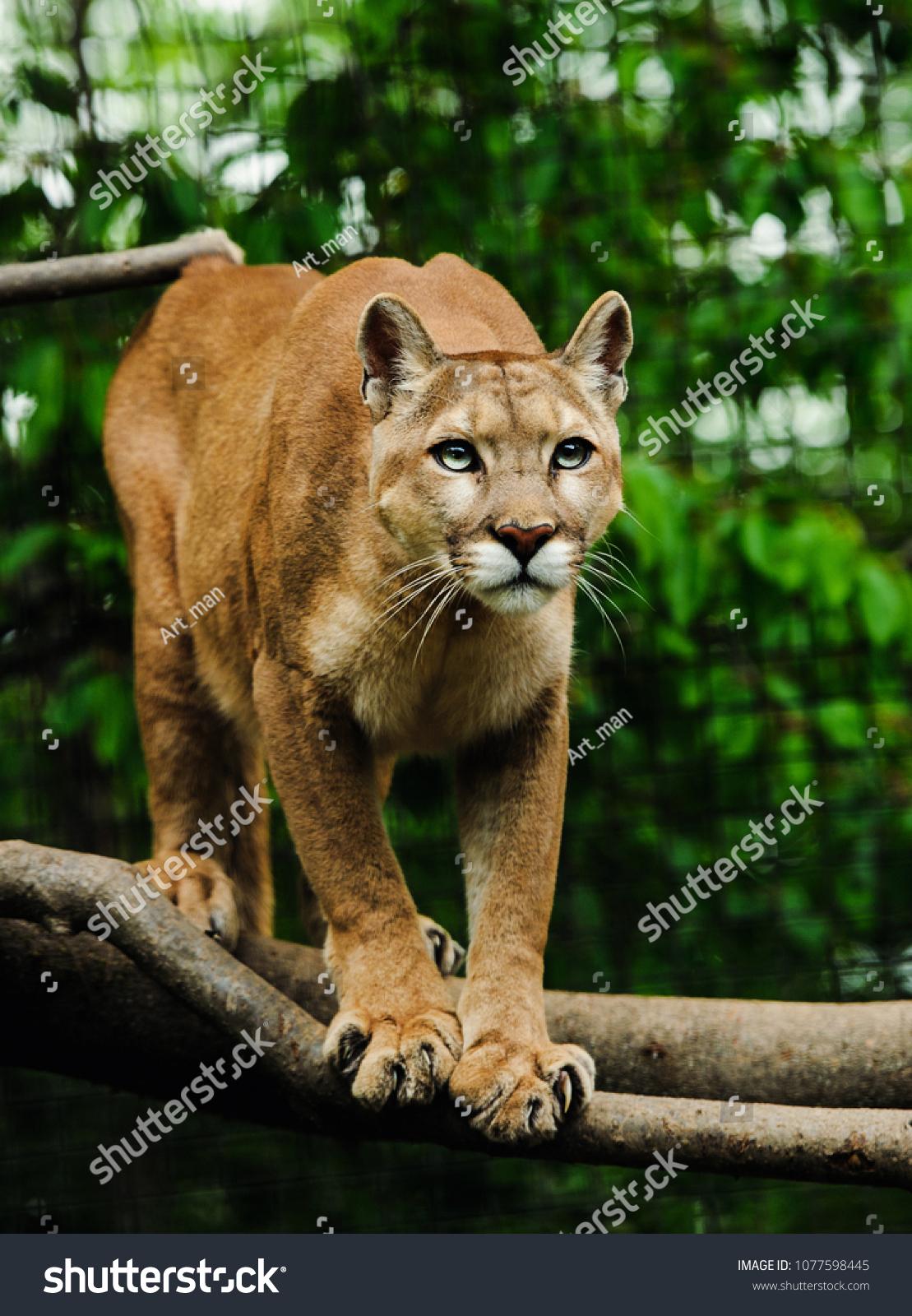 20ed19e6fec5 Adult Female Cougar Puma Concolor Stands Stock Photo (Edit Now ...