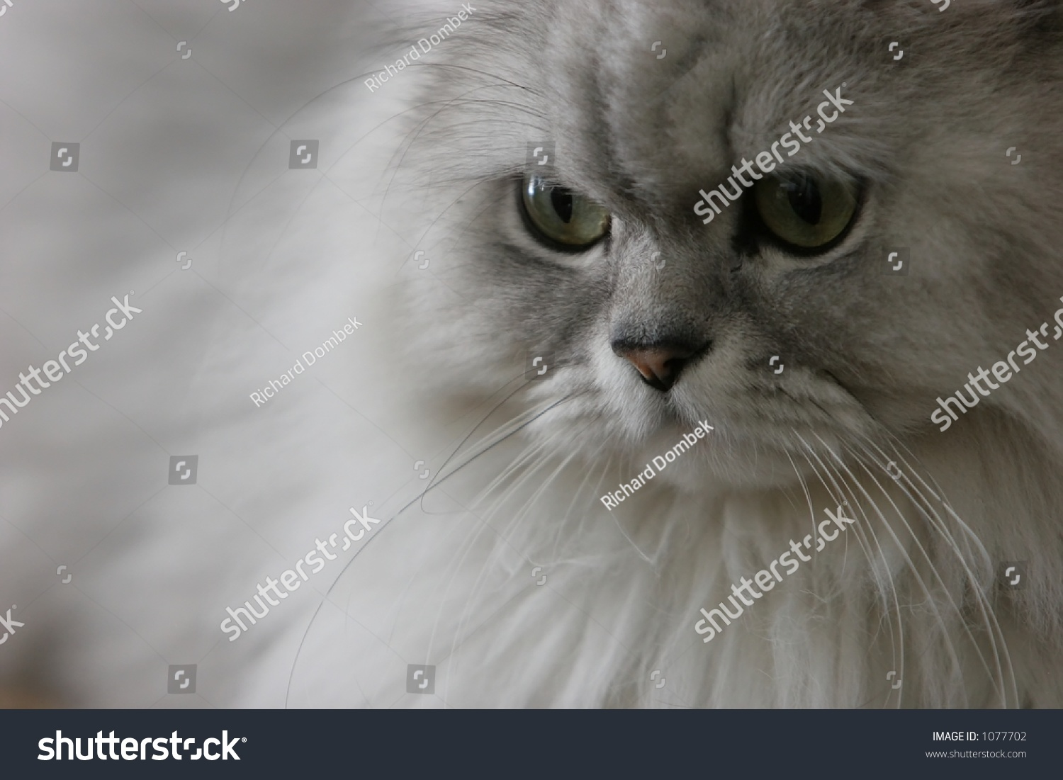 Our Pet Chinchilla Grey Persian Cat Stock Shutterstock