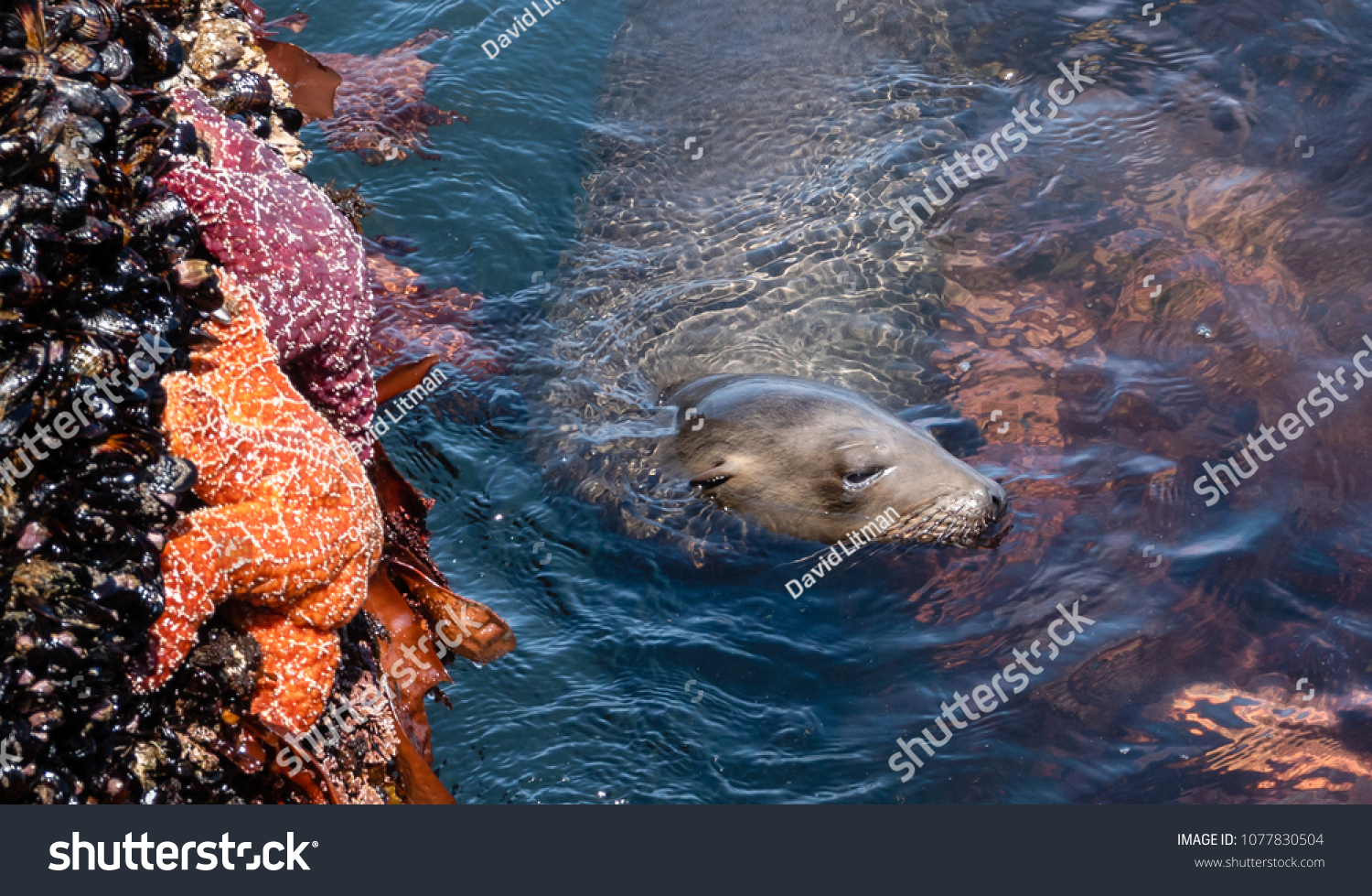 A Sea Lion swims in a narrow channel of rocks lined by mussels and star fish (sea stars) along the Monterey Bay of the central coast of California.