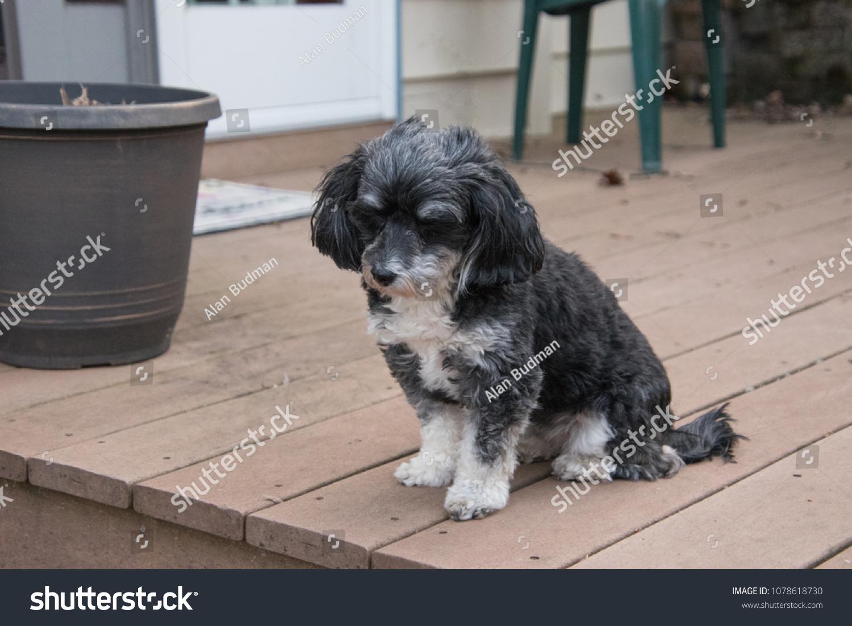 Portrait Cute Black White Havanese Puppy Stock Photo Edit Now 1078618730