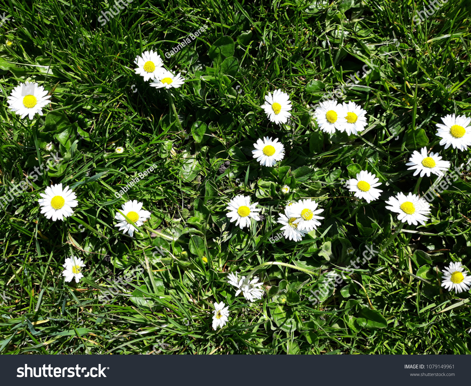 Beautiful white daisies flowers daisy flower stock photo edit now beautiful white daisies flowers daisy is a flower of asteraceae family izmirmasajfo