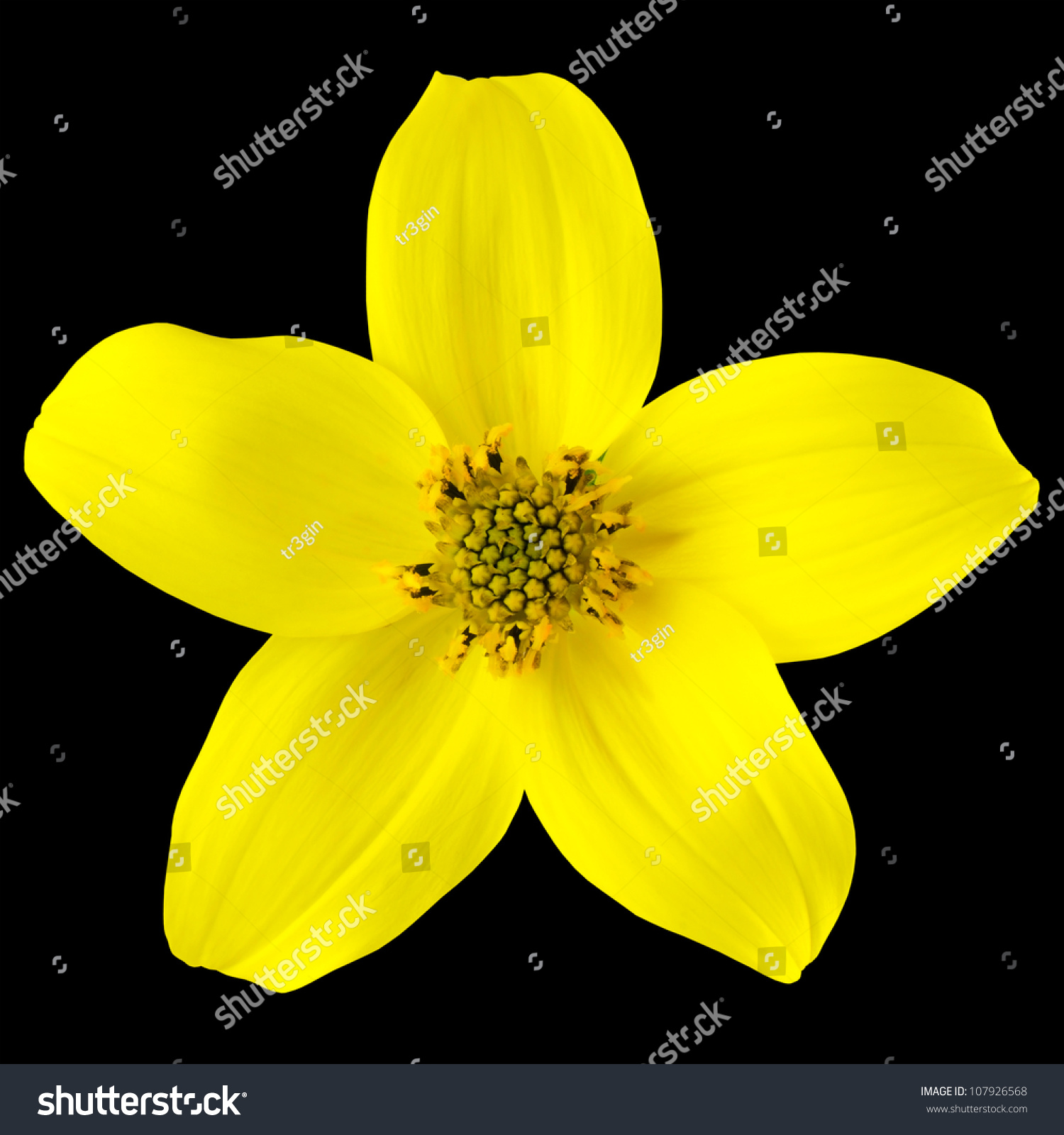 Yellow Wild Flower Five Petals Isolated Stock Photo Edit Now