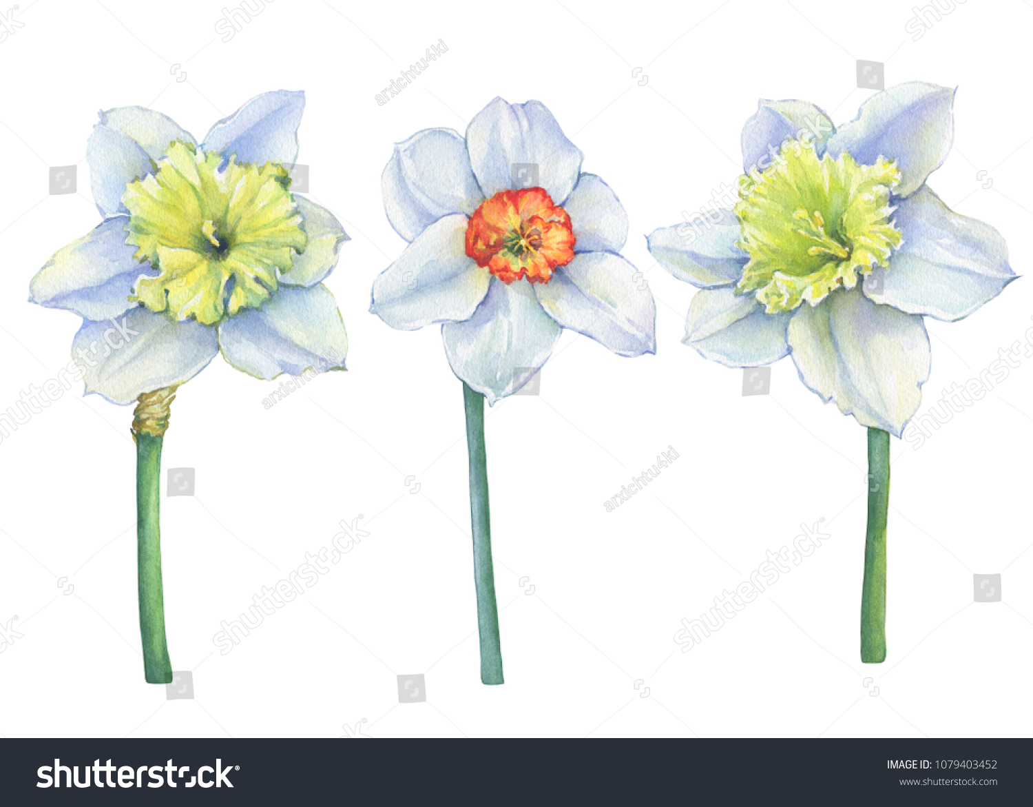 Set Narcissus Common Names Daffodil Yellow Stock Illustration