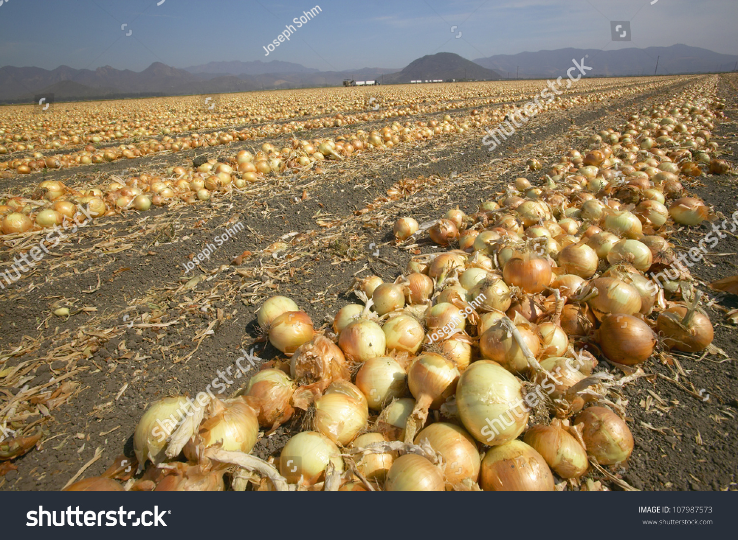 Giant Onion Field Oxnard California Stock Photo 107987573