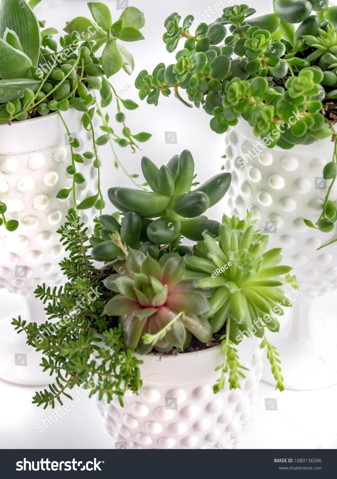 Composition Rare Succulent Plants Pachyphytum Compactum Stock Photo Edit Now 1080136586
