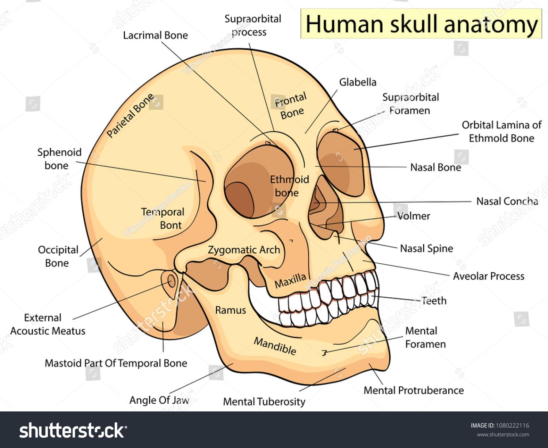 Medical Education Chart Biology Human Skull Stock Vector Royalty