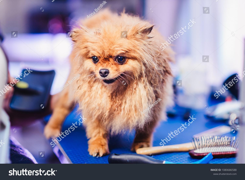 Pomeranian Dog Red Hair Like Fox Stock Photo Edit Now 1080686588