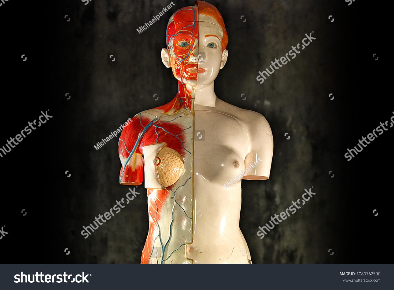 Female Anatomy Model Stock Photo Edit Now 1080762590 Shutterstock