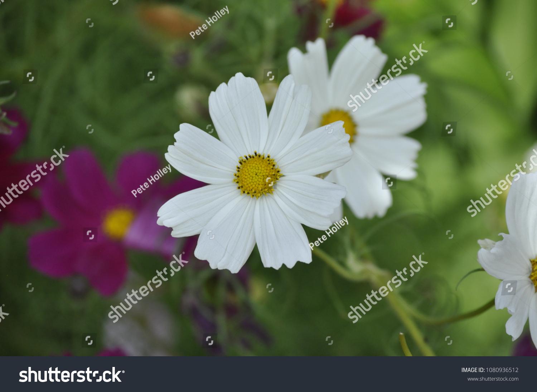 White Daisy Like Flower White Petals Stock Photo Edit Now