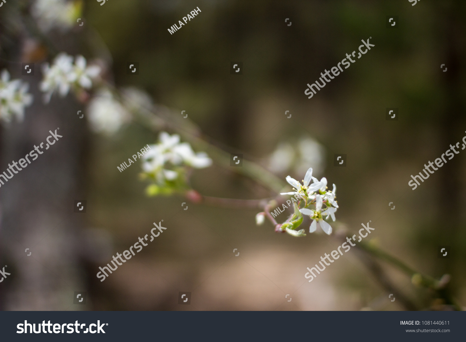 Branch Tree White Flowers Early Spring Stock Photo Royalty Free