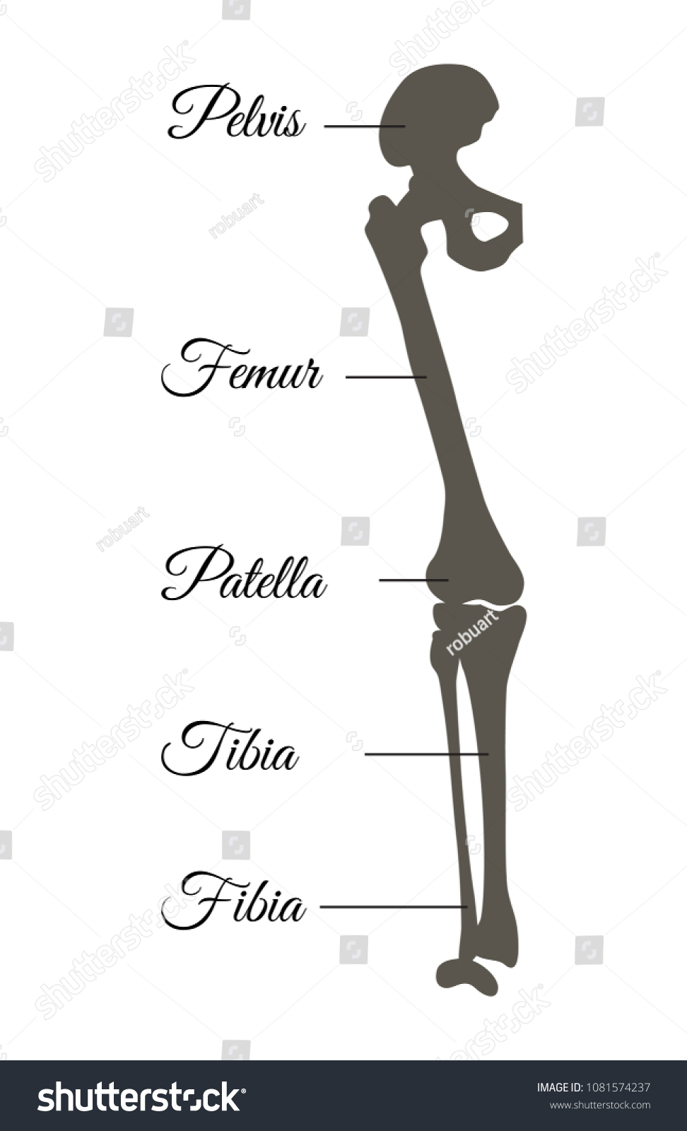 Pelvis Femur Patella Fibia Tibia Types Stock Vector Royalty Free