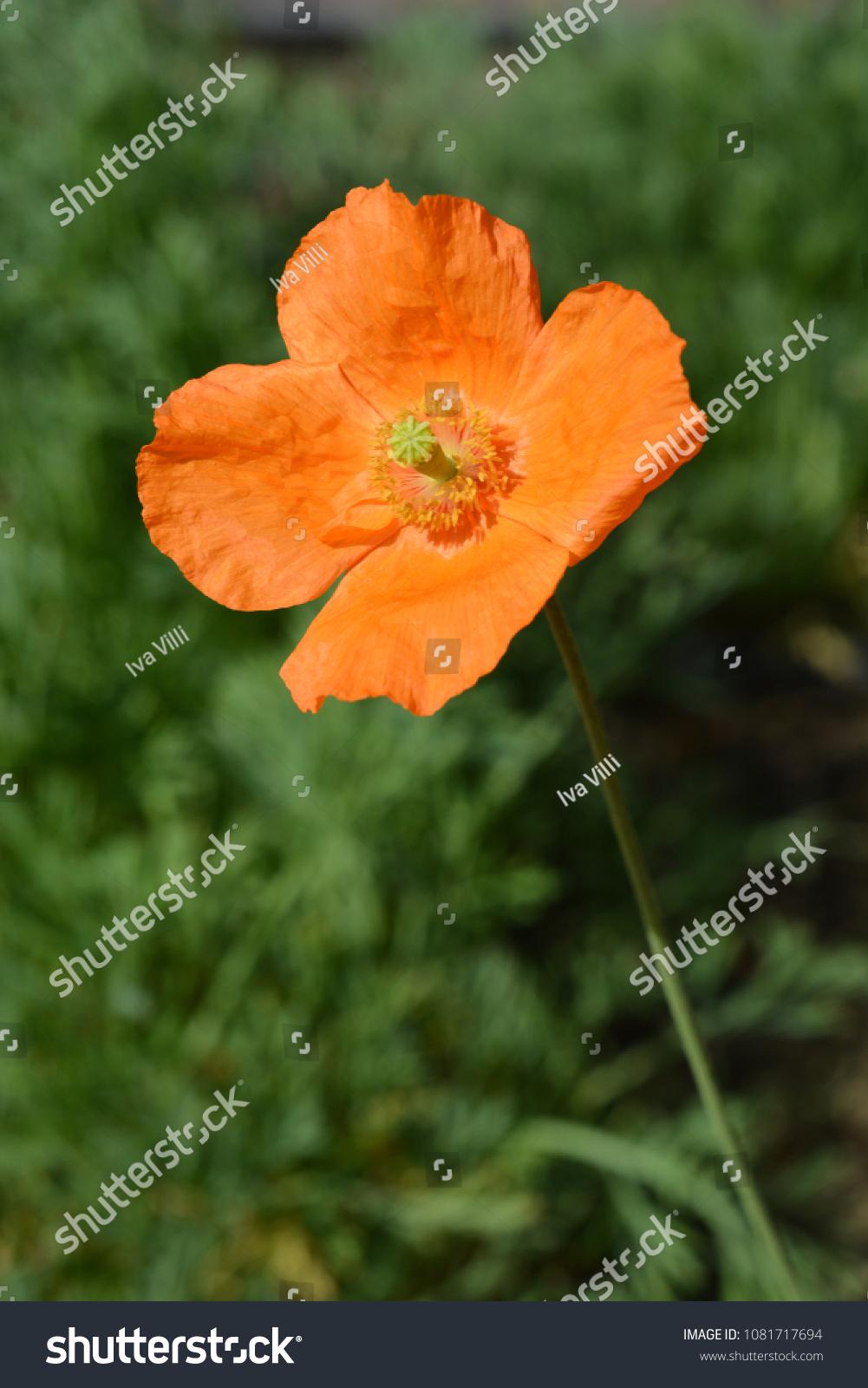 Close Moroccan Poppy Flower Latin Name Stock Photo Edit Now