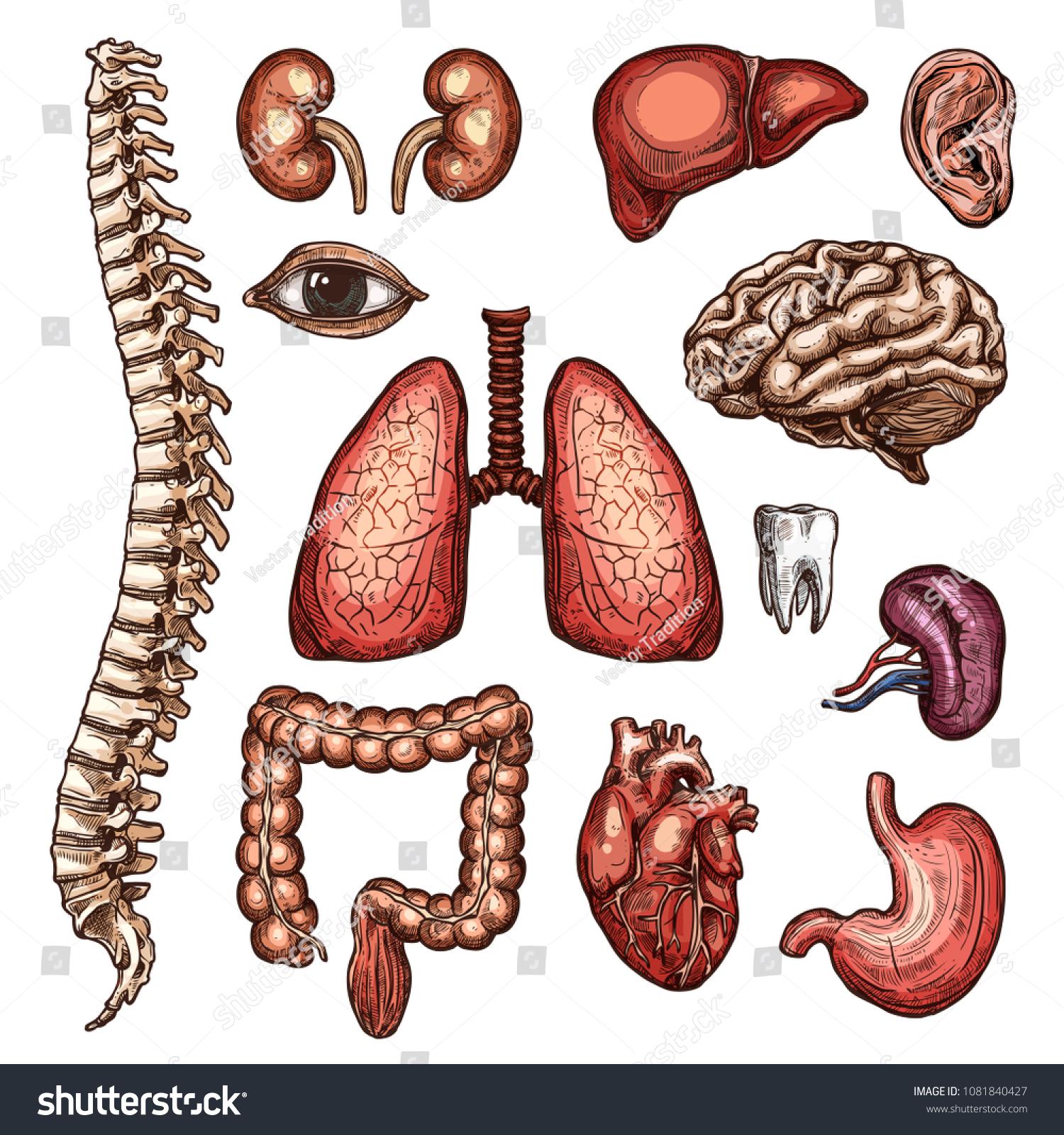 Human Organ Bone Sketch Set Internal Stock Vector 1081840427 ...