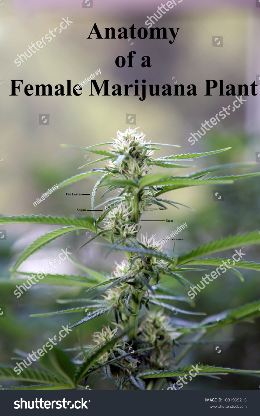 Anatomy Female Marijuana Plant Flower Stock Photo (100% Legal ...