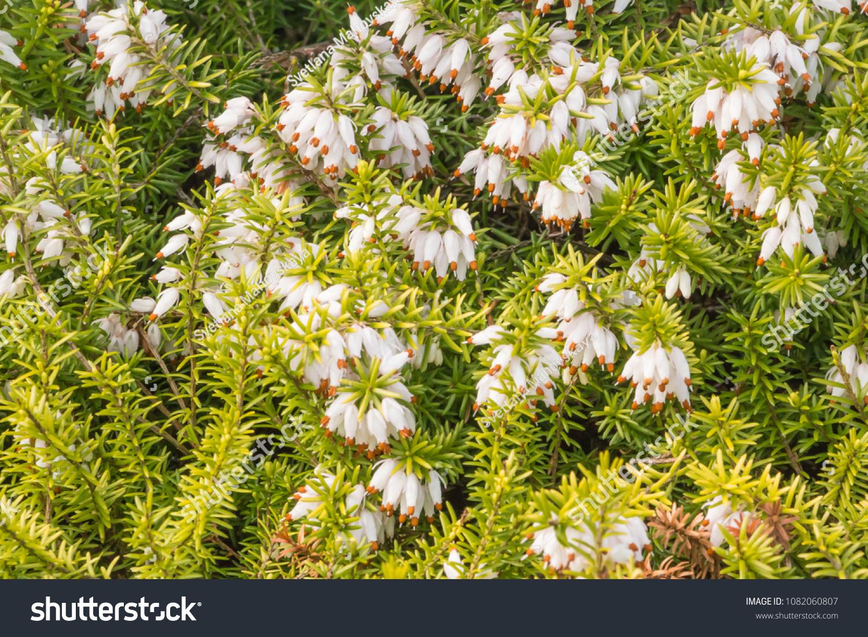 Winterflowering Heather Spring Heath Alpine Heath Stock Photo Edit