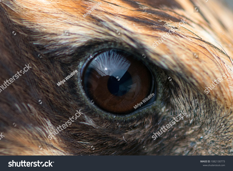 Eagle Eye Close Up Macro Photo Eye Of The Marsh Harrier Circus