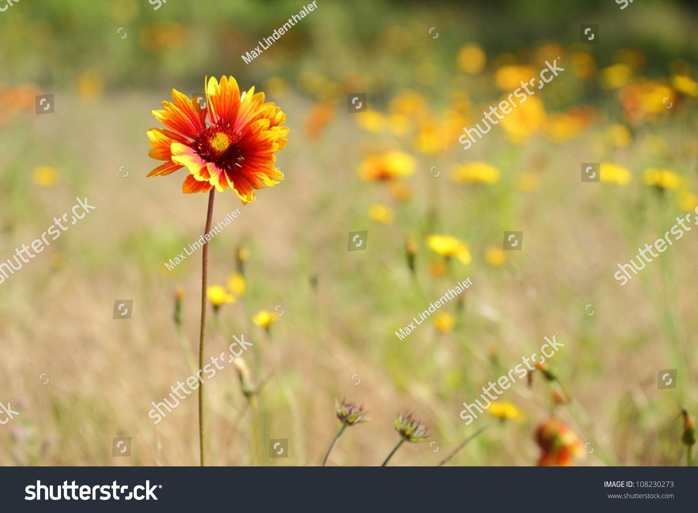 Sundance Firewheel Indian Blanket Flower Sundance Flower In A Meadow Th