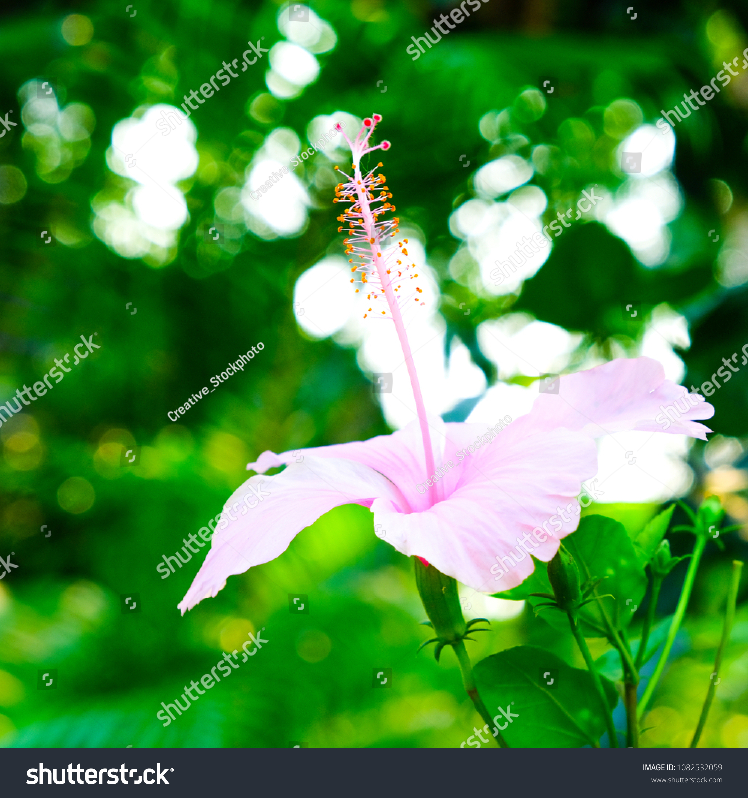 Blossom Chaba Flowers Asia Flowers Shoe Flower Stock Photo Edit Now