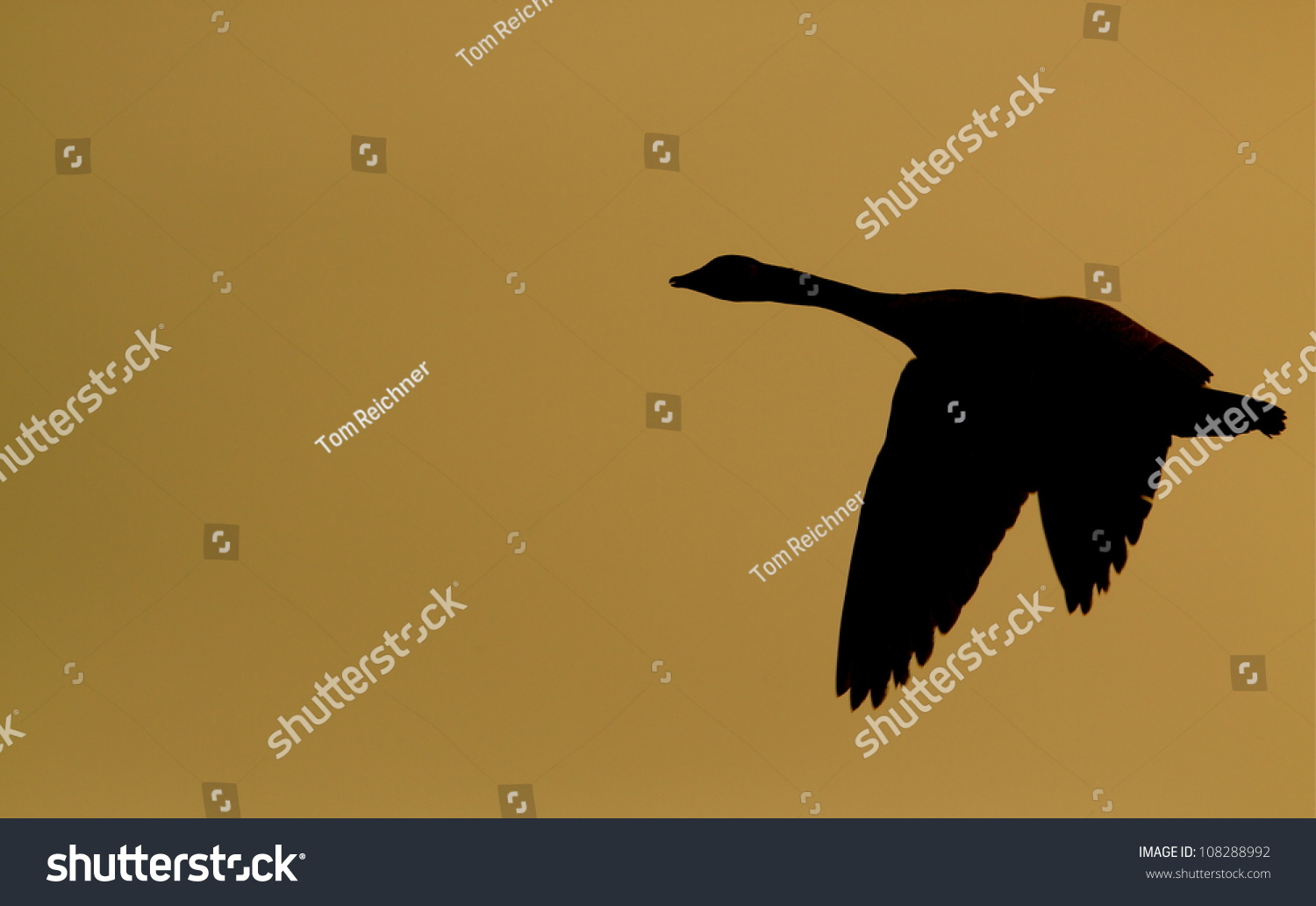 Canada goose silhouette flying against warm stock photo 108288992 canada goose silhouette flying against a warm background biocorpaavc