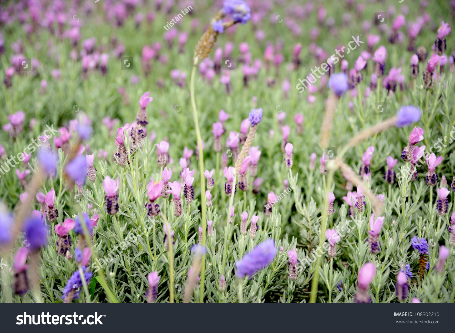 Beautiful lavender flowers taipei garden taiwan stock photo edit beautiful lavender flowers in taipei garden taiwan izmirmasajfo