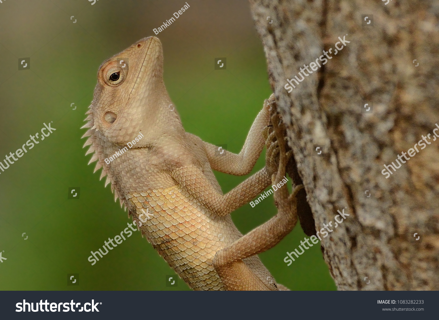 Garden Lizard These Changeable Lizards Territorial Stock Photo (100 ...