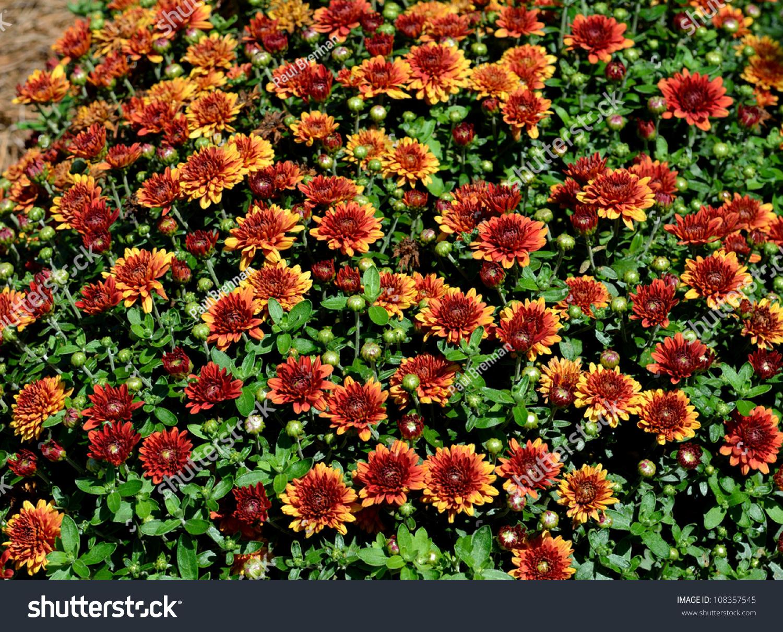 Chrysanthemums In A Garden In Georgia Usa Stock Photo 108357545 Shutterstock