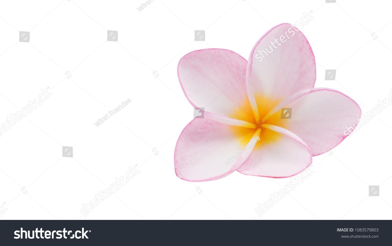 Tropical flowers close pink plumeria frangipani stock photo edit tropical flowers close up of pink plumeria or frangipani hawaii hawaiian lei flower izmirmasajfo