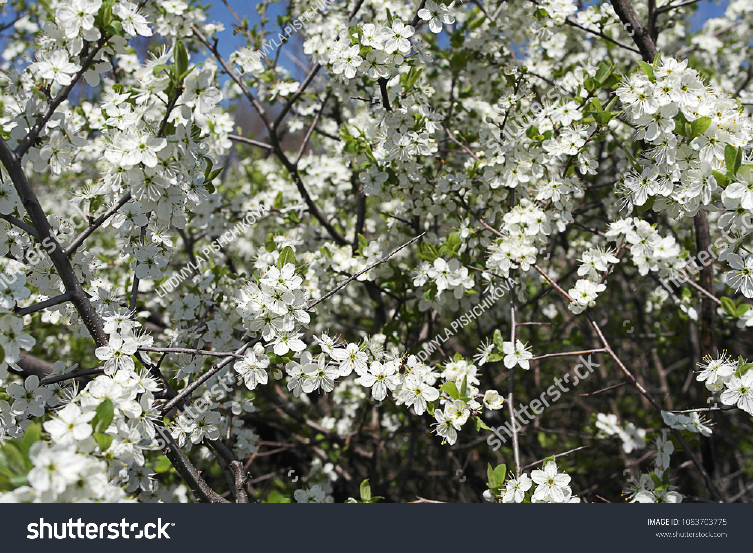 Huge Spines Hidden Delicate White Flowers Stock Photo 100 Legal