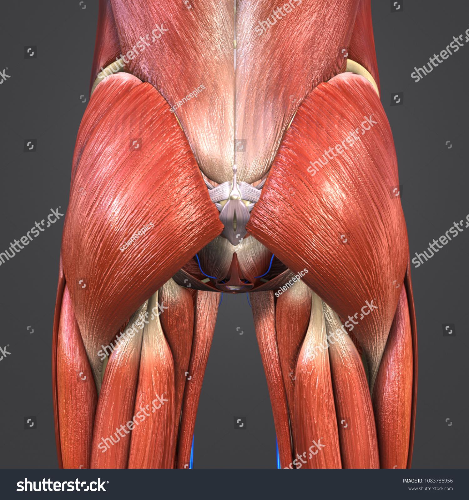 Hip Muscles Anatomy Skeleton Veins Posterior Stock Illustration