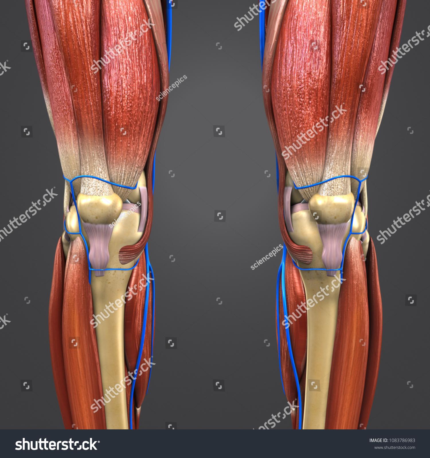 Knee Joint Muscle Anatomy Skeleton Veins Stock Illustration