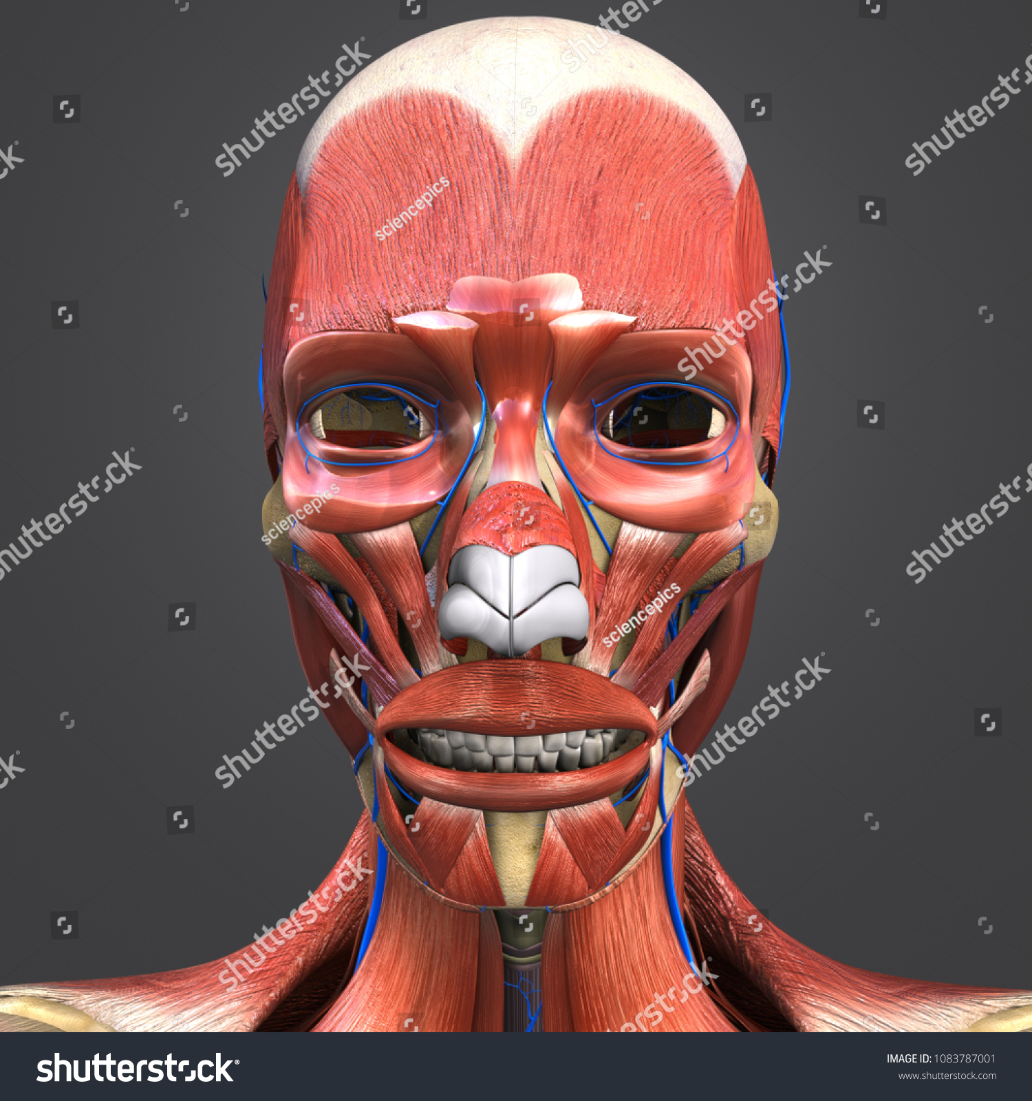 Facial Muscles Anatomy Skeleton Veins 3 D Stock Illustration