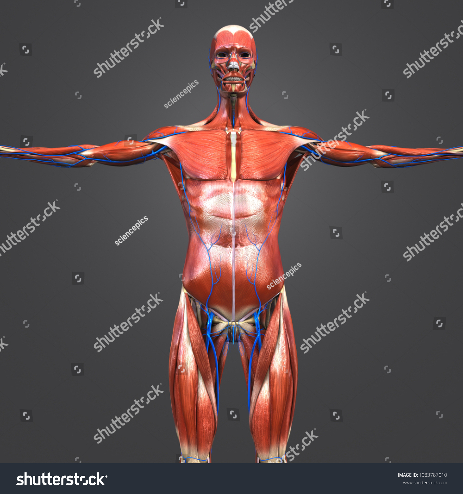 Human Muscular Anatomy Skeleton Veins Anterior Stock Illustration