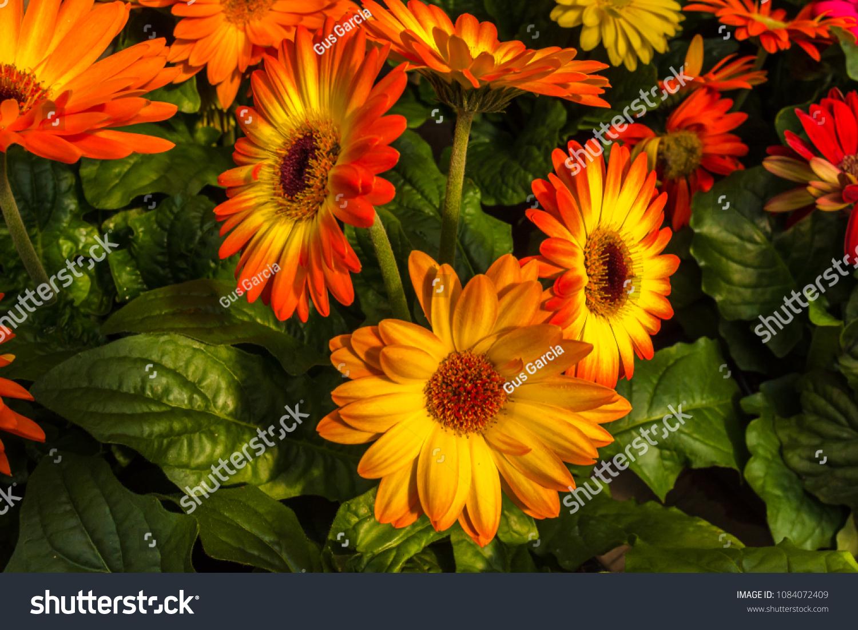 Colorful vibrant gerbera daisy featuring flower stock photo royalty colorful vibrant gerbera daisy featuring flower parts such as petals pistil peduncle and pollen izmirmasajfo