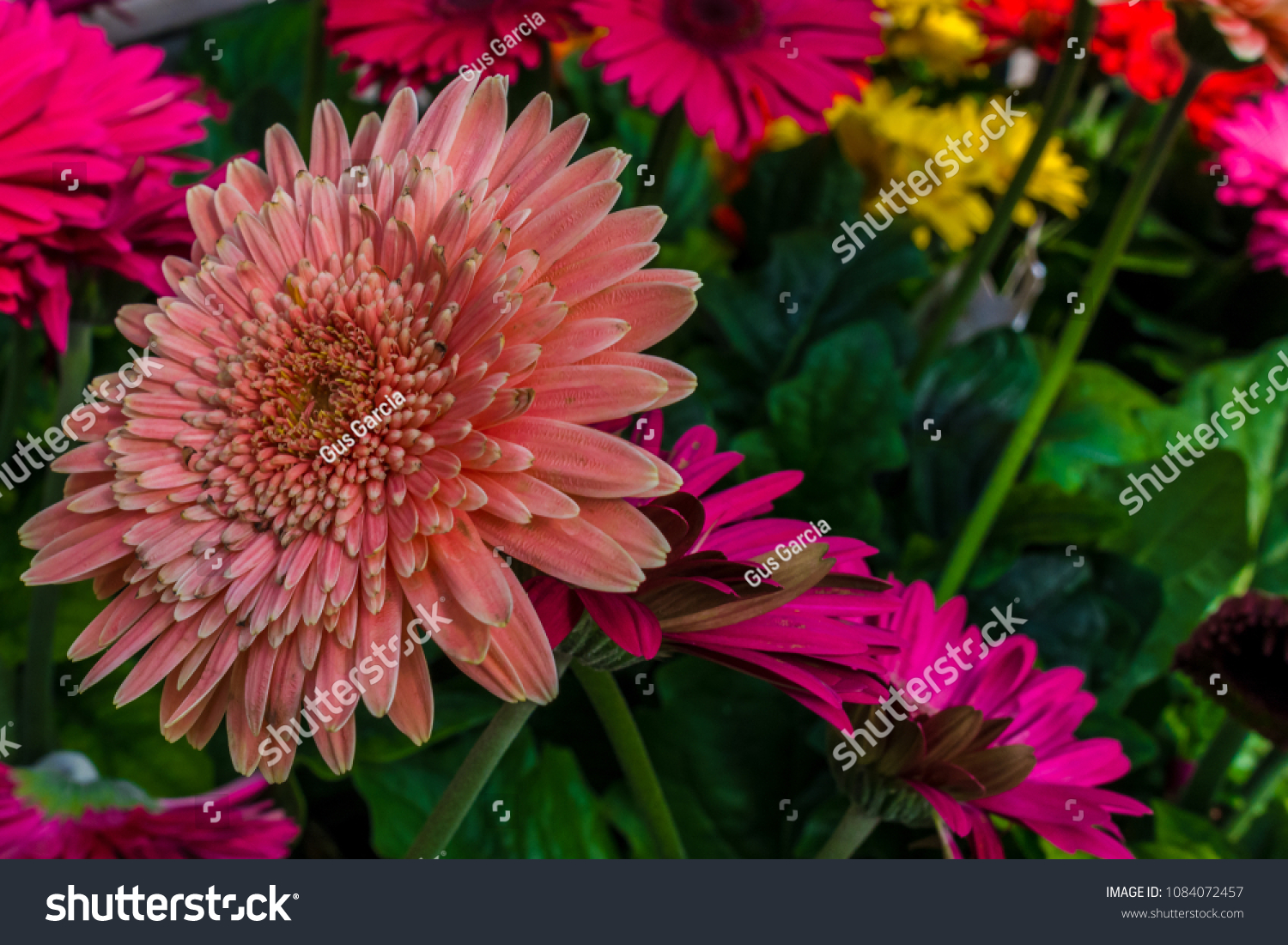 Colorful vibrant gerbera daisy featuring flower stock photo edit colorful vibrant gerbera daisy featuring flower parts such as petals pistil peduncle and pollen izmirmasajfo