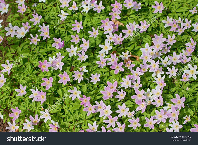 Anemone Nemorosa Earlyspring Flowering Plant Buttercup Stock Photo