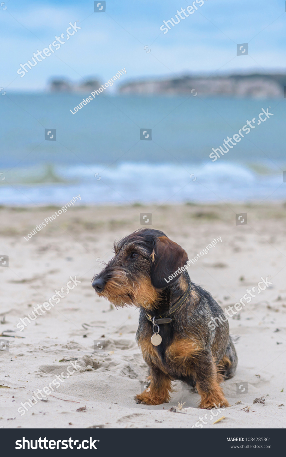 Miniature Wirehaired Dachshund Sitting On Beach Stock Photo (Edit ...