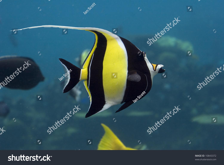 Moorish idol zanclus cornutus swimming over reef blue for What kind of fish is nemo
