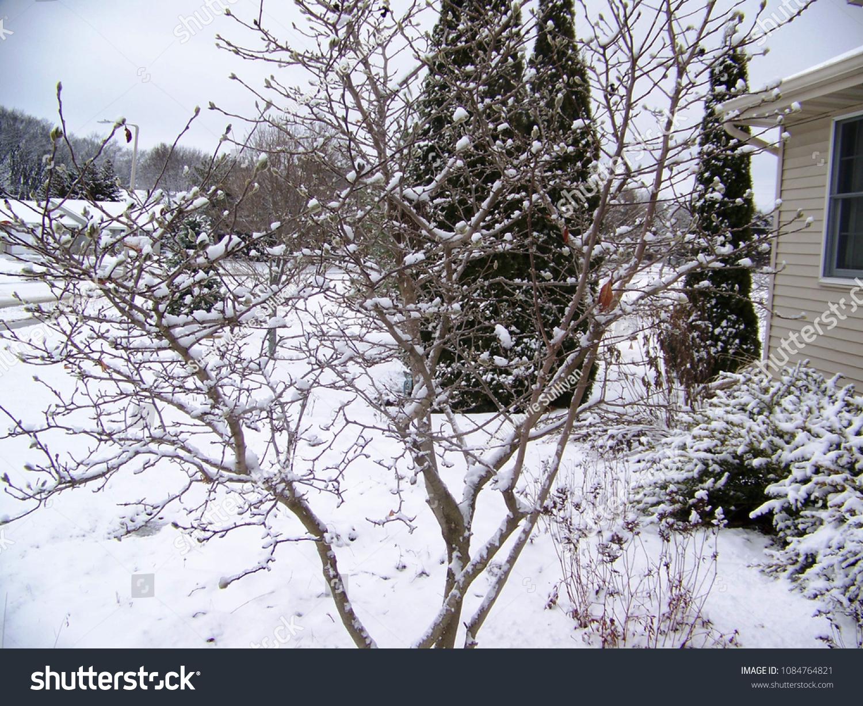 Magnolia Tree Wisconsin Stock Photo Edit Now 1084764821