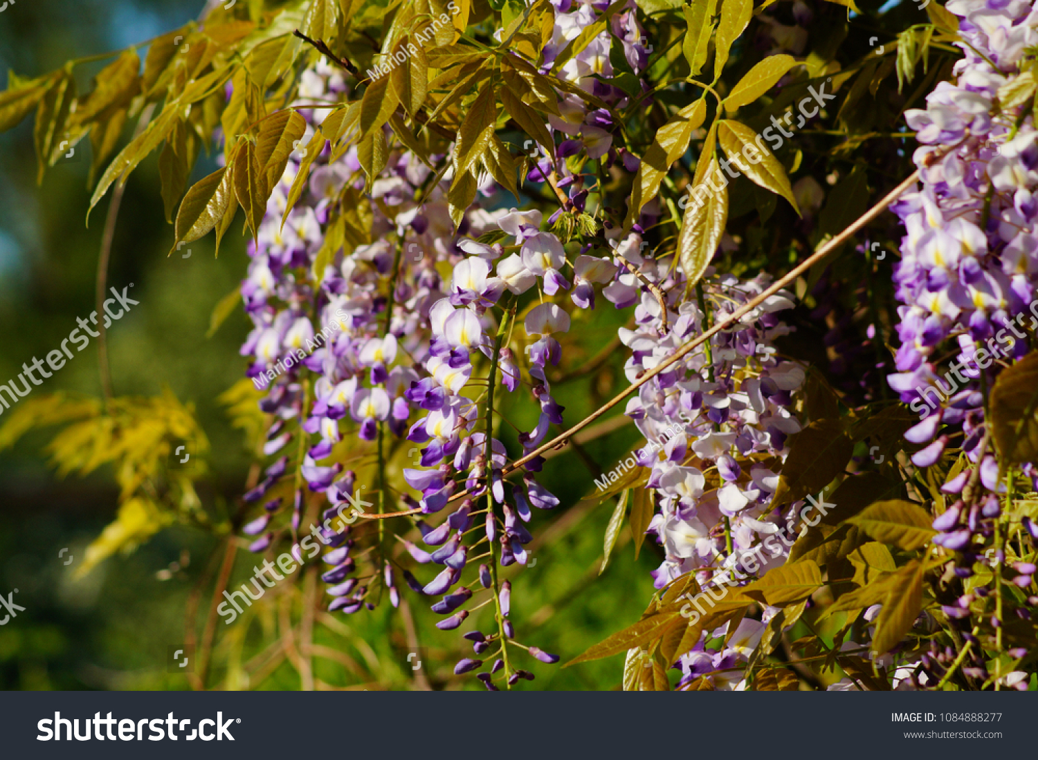 Chinese Wisteria Wisteria Blooming Summer Garden Stock Photo ...