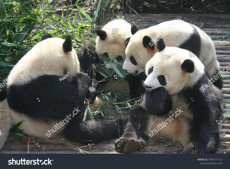 Panda meal time
