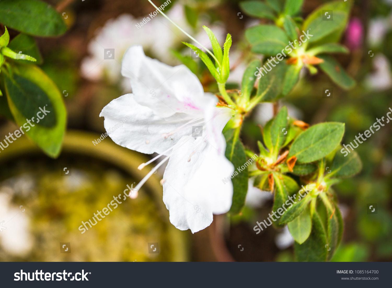 Macro Shot Blooming Rhododendron Azalea Bush Stock Photo Edit Now