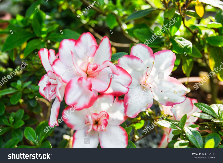 Close Shot Blooming Rhododendron Azaleas Bush Stock Photo Edit Now