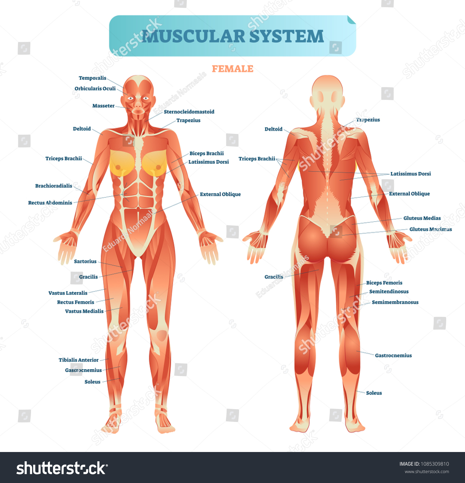 Male Muscular System Full Anatomical Body Stock Vector Royalty Free
