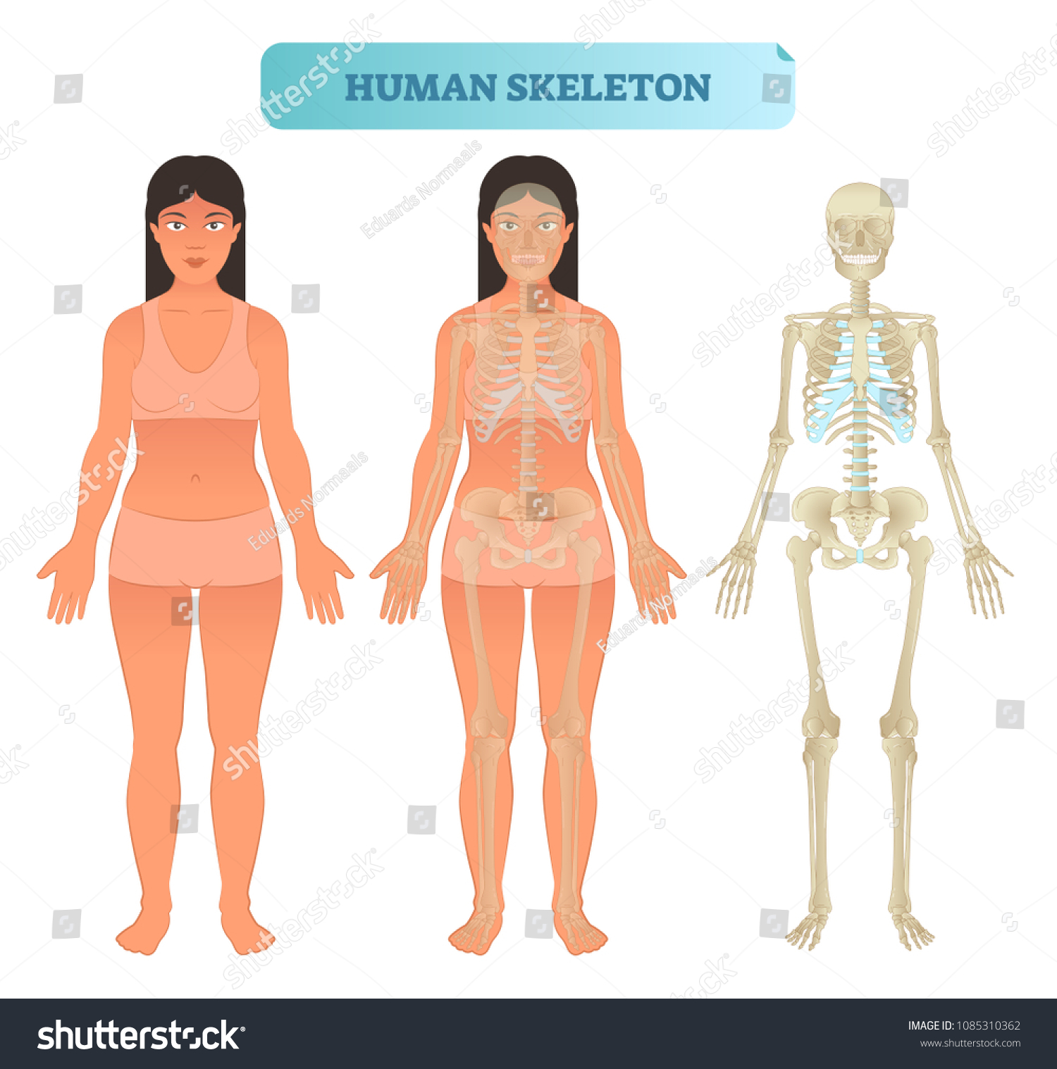 Full Human Skeleton Anatomical Model Medical Stock Vector Royalty