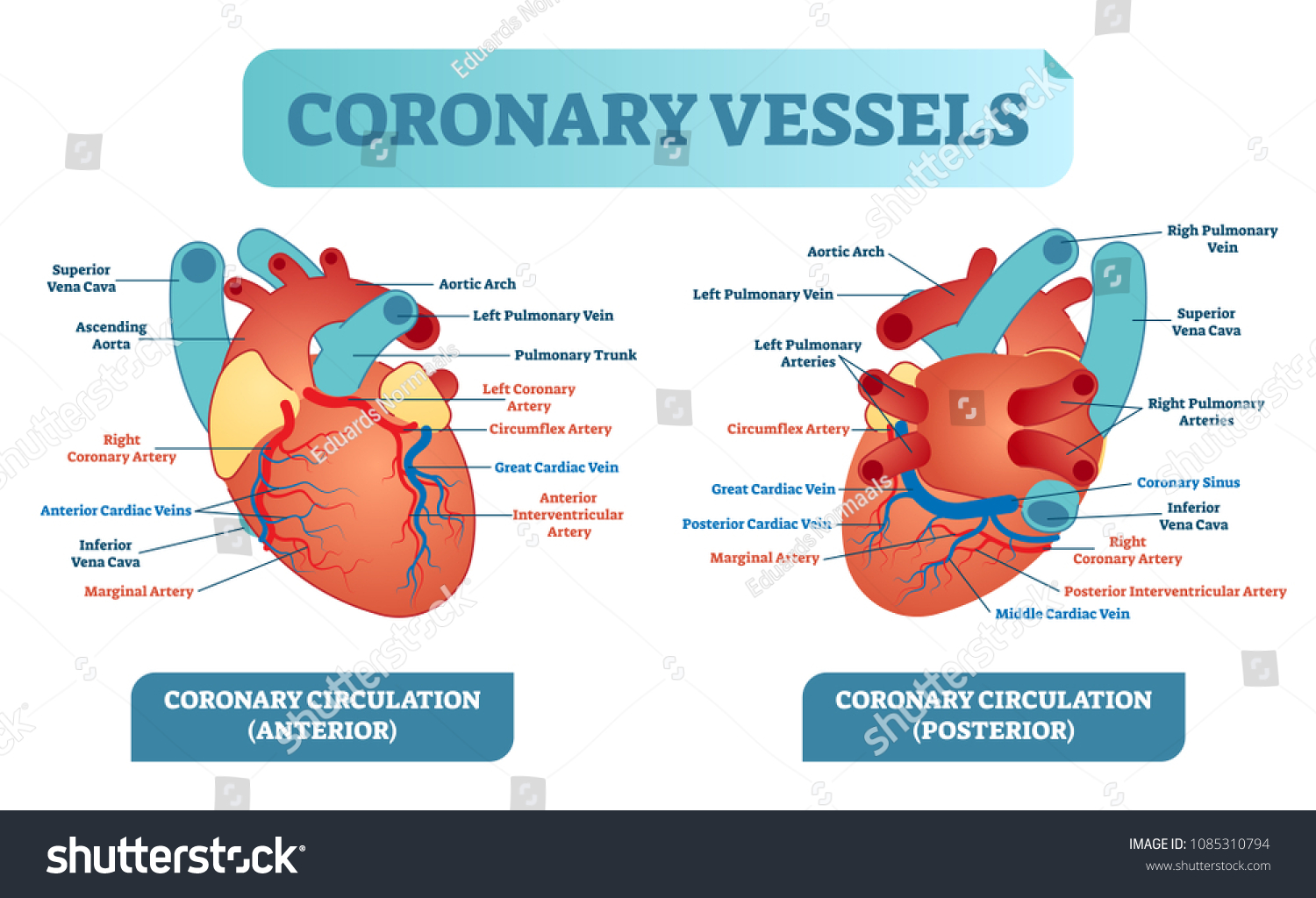 Coronary Vessels Anatomical Health Care Vector Stock Vector ...