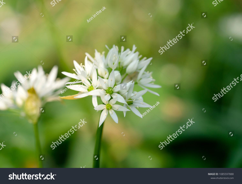 Close Ramsons Wild Garlic Flowers Woodland Stock Photo Edit Now