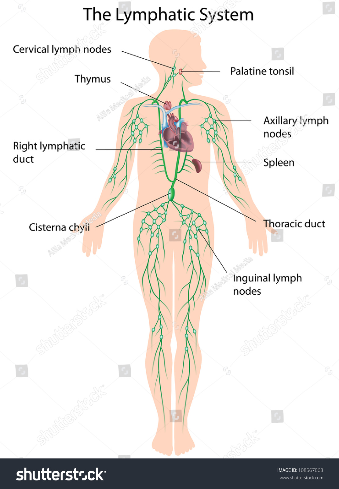 Lymphatic System Labeled Stock Illustration 108567068