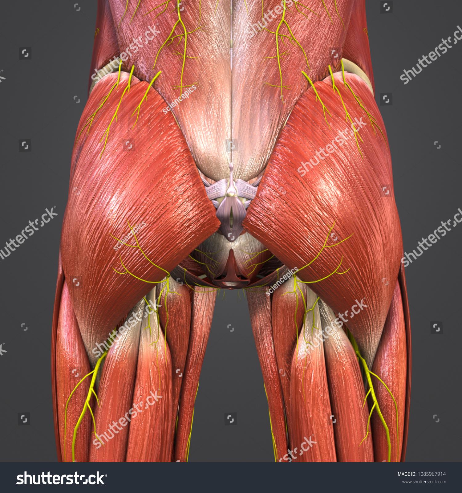 Hip Muscle Anatomy Skeleton Nerves Posterior Stock Illustration